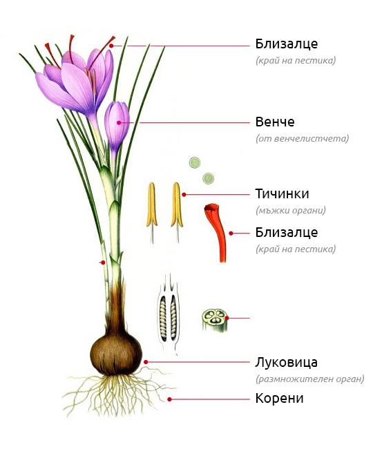 характеристика на шафрана