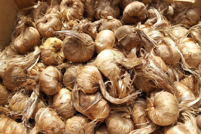 продажба на луковици от шафран